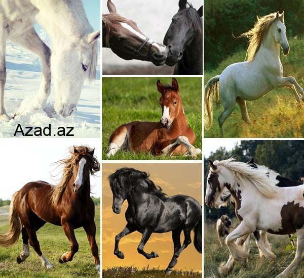 Cəsur Atlar..