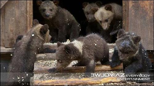 Keçmiş ovçu indi ayıları xilas edir