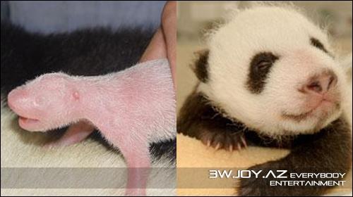 Pandaların böyüməyi addım-addım fotolarda