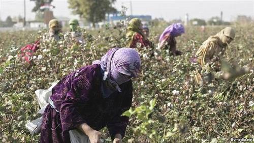 Azərbaycanın pambıq bazarında qeyri-sabitlik davam edir