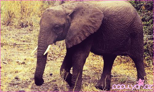 Filin nağılı