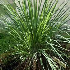 Müalicəvi bitkilər: oxuyun və öyrənin, gərəyiniz olar - Bədrənc bitkisi (Limon otu)