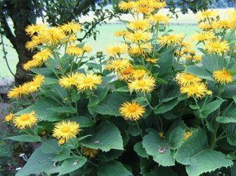 Müalicəvi bitkilər: oxuyun və öyrənin, gərəyiniz olar -Andızotu kökü (Ynula ...