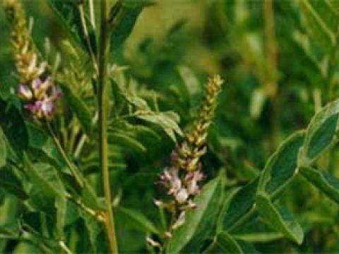 Müalicəvi bitkilər: oxuyun və öyrənin, gərəyiniz olar - Biyan kökü (Clycyrr ...