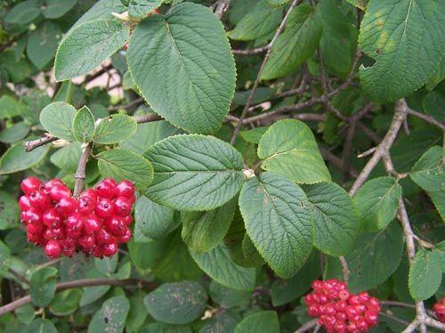 Müalicəvi bitkilər: oxuyun və öyrənin, gərəyiniz olar - Adi başınağacı (Viburnum orulus)