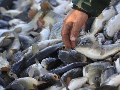 Bakıda müxtəlif balıqların satışı qadağan edildi