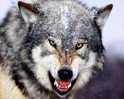 Hövsanda canavar peyda oldu - Video