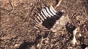 Xaçmaz meşəsində at-eşşək məzarlığı VIDEO
