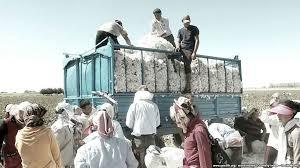 Sabirabad pambıqçılarının çətinlikləri: mütəxəssis çatışmazlığı, suvarma və texnika problemləri